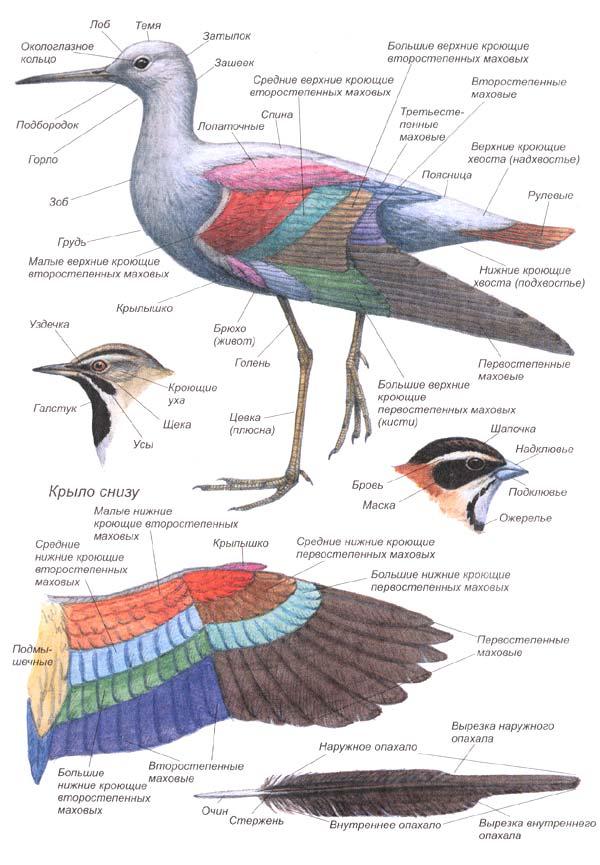Названия частей тела и